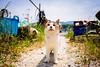 thrivers on islands #125 (Oki-Shima Island, Shiga) (Marser) Tags: xt10 fujifilm raw lightroom japan shiga island cat lake 滋賀 琵琶湖 沖島 猫 貓