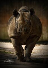 Northern Black Rhino (yadrad) Tags: rhino northernblackrhino zoo paigntonzoo paignton animal captive ngc