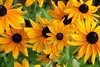 Rudbeckia (kvl23) Tags: flower bloom flowers nature beauty closeup macro bright russia plants рудбекия rudbeckia yellow