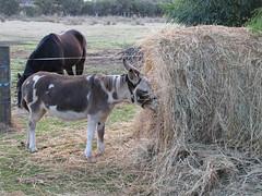 Sparkle and Roundbale I – Red Moon Sanctuary, Redmond, Western Australia (Red Moon Sanctuary) Tags: redmond westernaustralia australia au farm animals horses donkeys 6327 greatsouthern wa redmoonsanctuary