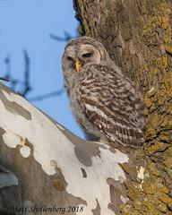Barred Owl Fledgling (Matt Shellenberg) Tags: fledgling owl barred barredowl nature missouri wildlife matt shellenberg animal