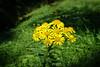 Unbekannte Blume (Mariandl48) Tags: blume unbekannt wiese licht schatten sommersgut wenigzell steiermark austria