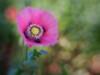 Opium Poppy (Anne Worner) Tags: em5 lensbaby olympus sweet35 bloom blosom bokeh center flower flowering opiumpoppy pink poppy softfocus stamen manualfocus manualfocuslens selectivefocus shallowdof plant nature anne worner