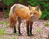 Backyard Vixen (dcstep) Tags: dsc4591dxo canine wildcanine fox redfox foxvixen vixen backyard sonya9 fe100400mmf4556gmoss fe14xteleconverter dxophotolab allrightsreserved copyright2018davidcstephens instagram