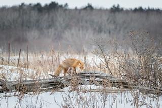 Red Fox in the winter jungle