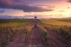 Vineyard guardian (Javy Nájera) Tags: javynájera larioja amancer campo cepa luz paisaje sol uva vid vino viña amanecer agrícola field light landscape agricultural sun grape vine wine vineyard dawn