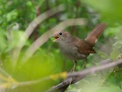 Nachtigall / Nightingale (S. Markow) Tags: vogel bird nightingale nachtigall nature natur outdoor wildlife wild panasonic lumix g9 100400mm