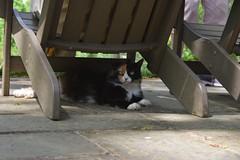 The cat at the manor house (Gibbs Gardens, North Georgia) (rootcrop54) Tags: gibbsgardens ballgroundgeorgia cherokeecounty georgia may2018 northgeorgia gardens calico cat neko macska kedi 猫 kočka kissa γάτα köttur kucing gatto 고양이 kaķis katė katt katze katzen kot кошка mačka gatos maček kitteh chat ネコ