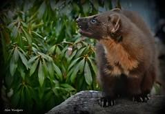 Pine Marten (Martes martes) (Alan Woodgate) Tags: marten wild scotland rare