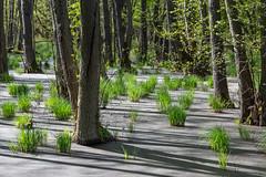 Im Darsser Moor (jmwill2005) Tags: moor darss mecklenburgvorpommern bodden boddenlandschaft nationalpark vorpommersche wasser sumpf sumpfpflanzen ostsee ahrenshoop prerow