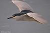 Nitticora _009 (Rolando CRINITI) Tags: nitticora uccelli uccello birds ornitologia canaledicalma natura genova