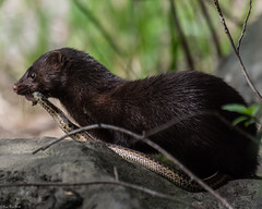 Bad day for the snake (Explored) (Fred Roe) Tags: nikond810 nikkorafs80400mmf4556ged nikonafsteleconvertertc14eii nature wildlife mammal mink americanmink neovisonvison peacevalleypark