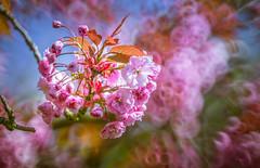 Flower Bloom (Dhina A) Tags: sony a7rii ilce7rm2 a7r2 a7r minolta rf rokkorx 250mm f56 mirror reflex minolta250mmf56 md prime rokkor bokeh flower bloom