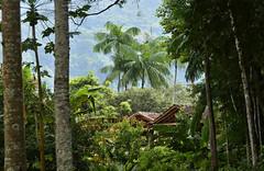 Paisagem tropical (Márcia Valle) Tags: piau ribeirãodosalmeidas minasgerais brasil brazil nikon nature landscape paisagemmineira márciavalle d5100 nikkor70300mm interior zonarural ruralscene tropicallandsccape paisagemtropical trees árvores palmtrees palmeiras mataatlântica paisagembrasileira brazilianscene