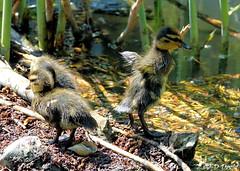 Séance d'étirement :-) (jean-daniel david) Tags: oiseau oiseaudeau canard colvert caneton roseau réservenaturelle eau lac lacdeneuchâtel yverdonlesbains closeup grosplan vert bokeh trio nature