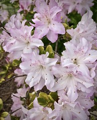 Pink azaleas! (Pete Tillman) Tags: monterey azaleas