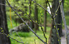 New leaves (Violet aka vbd) Tags: pentax k3 vbd hdpentaxda55300mmf4563edplmwrre ct connecticut leaves newengland tree roseofsharon bokeh handheld spring2018 2018 manualexposure branches