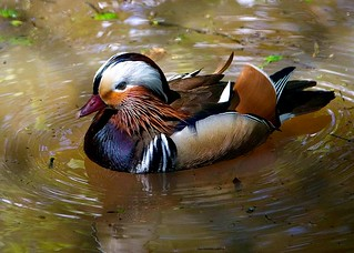 Mandarin Duck 8053