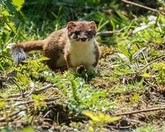 Stoat (warren hanratty) Tags: wildlife stoat warrenhanrattyphotography gloucestershire cotswoldwaterpark clevelandlakes cwp nature