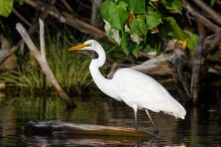 Intermediate Egret - Ardea intermedia