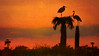 Trees for two. (Jill Bazeley) Tags: great blue heron nest palm tree sabal sunset texture blend layer viera wetlands space coast brevard county florida birding trail birdwatching ritch grissom memorial nikon d7000 70300mm silhouette