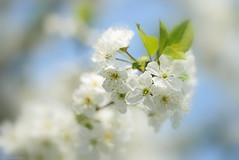 Wishing you a lovely rest of the week! (eleni m) Tags: blossom flowers white dreamy sky blue tree outdoor branche spring macro leaves soft dof macromademoiselle
