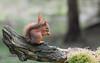 Red Squirrel (mikedenton19) Tags: red squirrel redsquirrel sciurus vulgaris sciurusvulgaris rodent mammal uk british wildlife nature yorkshire dales national park yorkshiredalesnationalpark wensleydale hawes