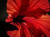 12010285 (5816OL) Tags: flowers hibiscus