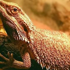 IMG_20180505_180133_023 (annadeussfeld) Tags: picturessnapshotartbeautifulinstagoodpicofthedayphotoofthedaycolorallshotsexposurecompositionfocuscapturemomentphotoshootphotodailyphotogram photography snapshot animal reptile bartagame composition focus exposure capture naturepic naturelove naturephotography uniqueview dragon