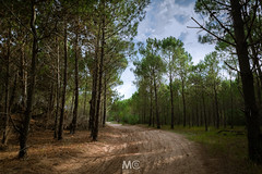 A path in the woods (Mariano Colombotto) Tags: pinamar argentina woods forest bosque pines pinos trees arboles nature naturaleza ngc nikon travel photographer photography sunset atardecer