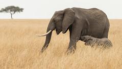 Elephant Calf Feeding (Markp33) Tags: