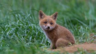 Red Fox - Vulpes vulpes   2018 - 17