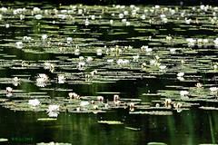 DSC_0313_00001 wb (bwagnerfoto) Tags: water lily tavi rózsa lobau donauauen nationalpark nature green lake landscape