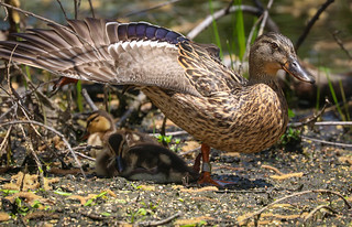 Happy Mother's Day     .......Banded Mallard mother Madrona Marsh Torrance California 057