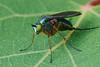Slankpootvlieg, Dolichopodidae indet. (hansKiek) Tags: slankpootvlieg dolichopodidae vlieg monster zuidholland thenetherlands nl