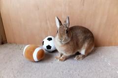 Ichigo san 1158 (Ichigo Miyama) Tags: いちごさん。うさぎ ichigo san rabbitbunny cute netherlanddwarf brown ネザーランドドワーフ ペット うさぎ いちご ぬいぐるみ ぬいどりrabbit bunny ぬいどり
