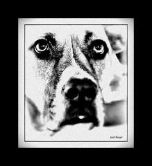 her dog Karma, a portrait (milomingo) Tags: animal dog pet frame photoborder monochrome blackandwhite blackwhite grey closeup critter face texture grain portrait eyes boxer hound