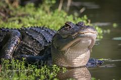 Heads-Up Gator (tclaud2002) Tags: gator alligator reptile lizard wildlife animal outdoors water nature mothernature whitecity park whitecitypark fortpierce florida usa