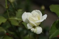 180525008 (murbozero) Tags: murbo japan flower rose