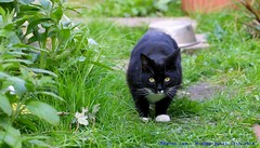 Hunting Mode....... (law_keven) Tags: cat cats animals catford london england photography gardens garden