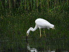 Great White Egret (Corine Bliek) Tags: ardeaalba bird birds vogel vogels nature natuur wildlife waders reigers egret water riet reeds