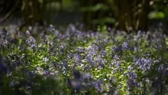 Bluebells (Future-Echoes) Tags: 4star 2018 bluebells bokeh depthoffield dof essex hillhousewood light shadow westbergholt woodland fordham england unitedkingdom gb