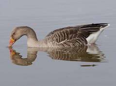 Greylag goose (PhotoLoonie) Tags: goose greylaggoose wildlife nature reflection waterreflection water waterbird bird