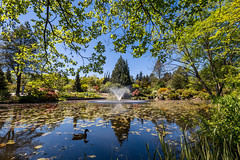 VanDusen Botanical Garden-104 (_futurelandscapes_) Tags: vandusen botanical garden spring vancouver bc canada green flowers rhododendrons japanese maple trees water reflection fountain beautiful peaceful relaxing nature landscape beauty natural sunny