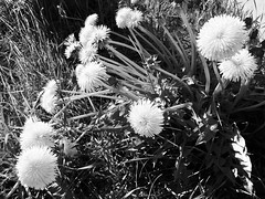 Afternoon Dandelions, Grayscale (sjrankin) Tags: 20may2018 edited hokkaido japan yubari grayscale flowers weeds dandelion grass