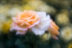 _DSC6588 (kymarto) Tags: bokeh bokehlicious bokehphotography dof depthoffield flowers flowerphotography nature naturephotography beauty beautiful sony sonyphotography sonya7r2 oldlens vintagelens roses