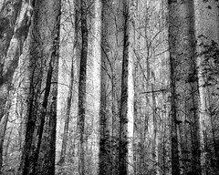 forest (Hilarywho) Tags: forest tree trees texture layered doubleexposure superimposed blackandwhite