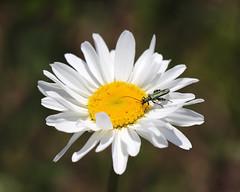 Thick-legged Flower Beetle! (RiverCrouchWalker) Tags: thickleggedflowerbeetle beetle insect invertebrate essex rettendon rhs rhshydehall oxeyedaisy leucanthemumvulgare wildflower flower may spring 2018