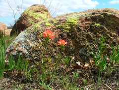 4444  Indian Paintbrush (jHc__johart) Tags: flower plant indianpaintbrush oklahoma