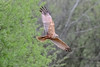 Strike a pose (Paul Wrights Reserved) Tags: marshharier marshharierinflight bird birding birdphotography birds birdinflight birdofprey birdofpreyinflight posing poser pose poise wing wings wins stretched claws eyes trees looking wingtips nature naturephotography wildlife wildlifephotography wildanimal